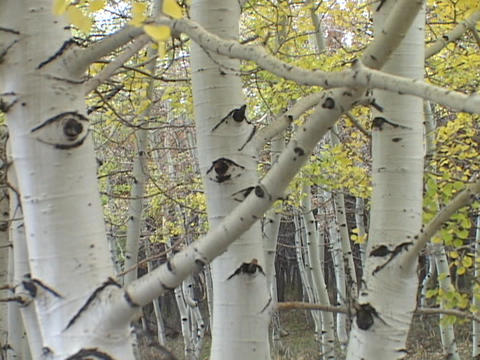 Branches reach out from aspen trees in a forest Live Action