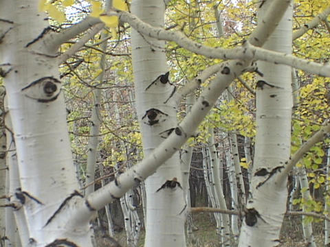 Branches reach out from aspen trees in a forest Stock Video Footage