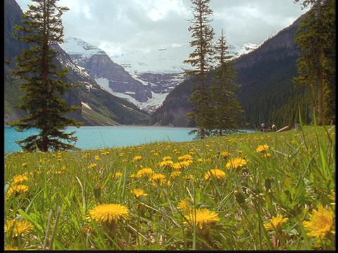 A field of wildflowers grows beside Lake Louise Stock Video Footage