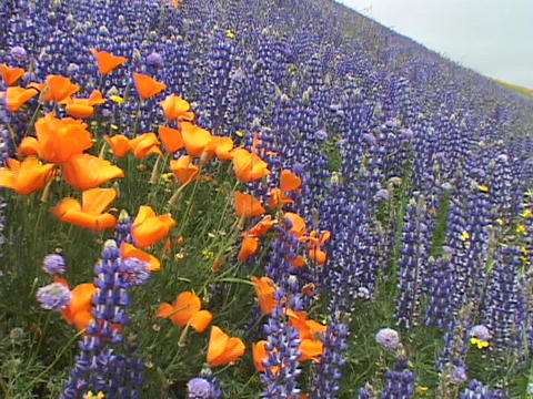 A field of wildflowers wave in the breeze Stock Video Footage