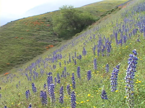 Purple and yellow wildflowers grow on a hillside Stock Video Footage