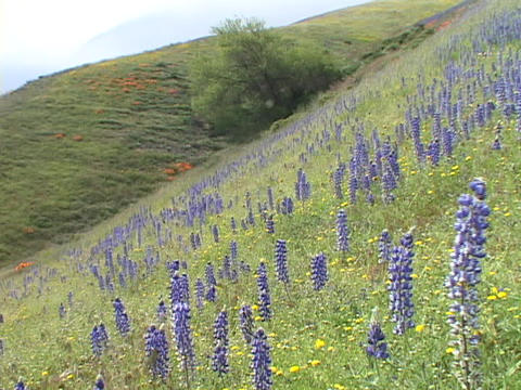 Purple and yellow wildflowers grow on a hillside Footage