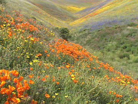 Orange, yellow and purple wildflowers grow on hillsides Stock Video Footage