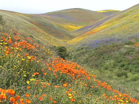 Orange, yellow and purple wildflowers grow on hillsides Footage