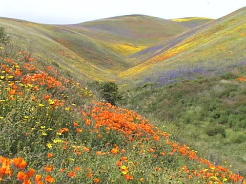 Orange, yellow and purple wildflowers grow on hillsides Footage