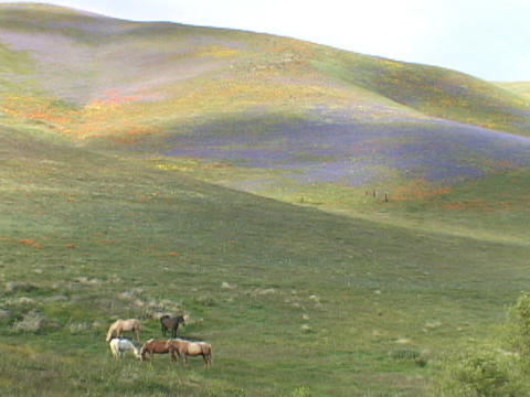 Horses graze in fields of California wildflowers Footage