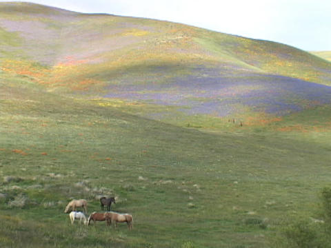 Horses graze in fields of California wildflowers Stock Video Footage