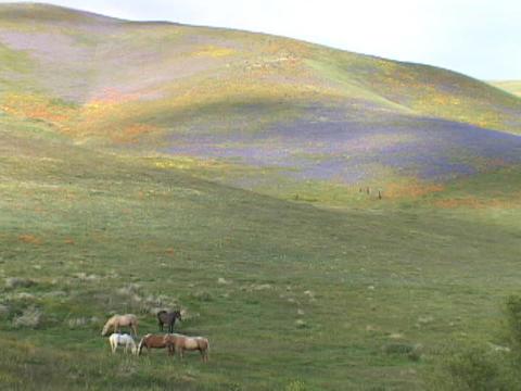 Horses graze in fields of California wildflowers Stock Video Footage