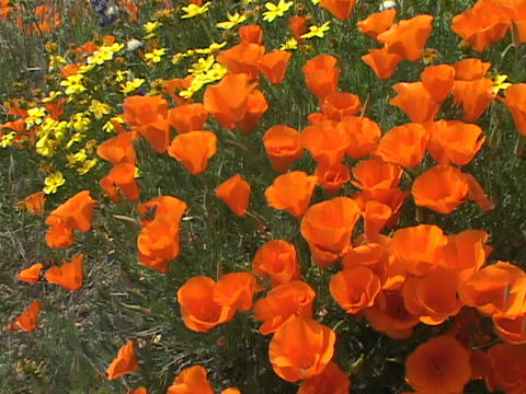 California poppies grow in a field Footage