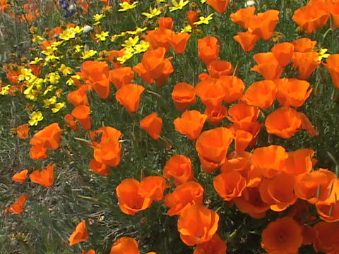 California poppies grow in a field Stock Video Footage