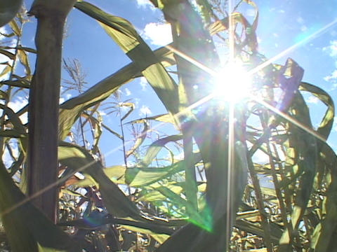 Corn stalks wave in the sun Stock Video Footage