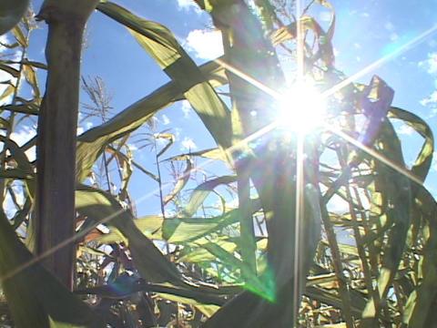 Corn stalks wave in the sun Stock Video Footage