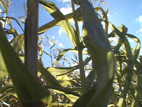 Corn stalks wave in the sun Footage