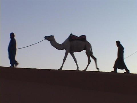 Men lead camels across a desert Footage