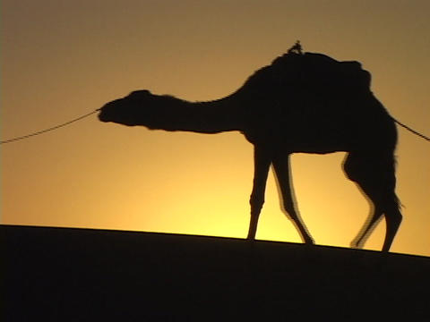 Men lead camels across a desert in the Middle East Live Action