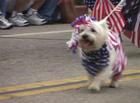 A small white dog bedecked with the American flag and... Stock Video Footage