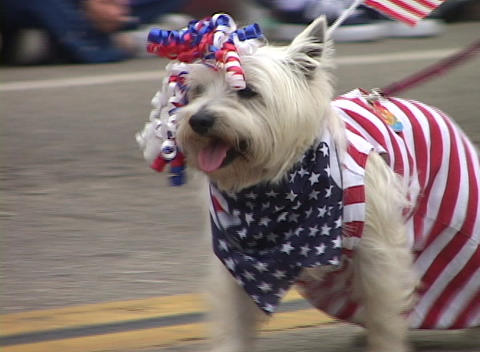 A small white dog bedecked with the American flag and ribbons trots along in a parade Footage