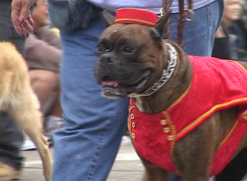A boxer dog wears a bell hop costume during a parade Stock Video Footage