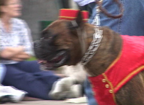 A boxer dog wears a bell hop costume during a parade Footage