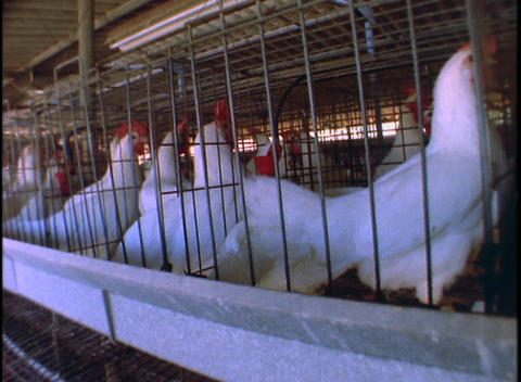 Chickens nervously mill about in cages at a poultry farm Live Action