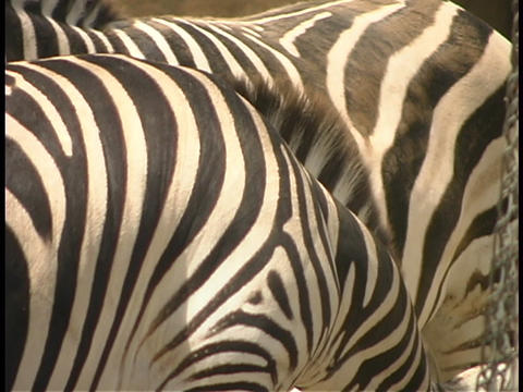 Zebra graze close together Stock Video Footage