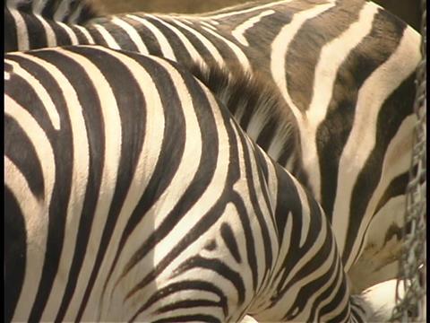 Zebra graze close together Stock Video Footage