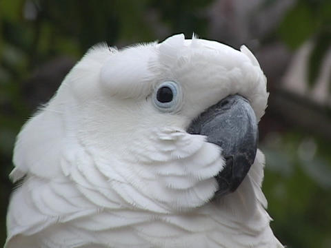 Wind blows in the face of a white cockatoo Stock Video Footage