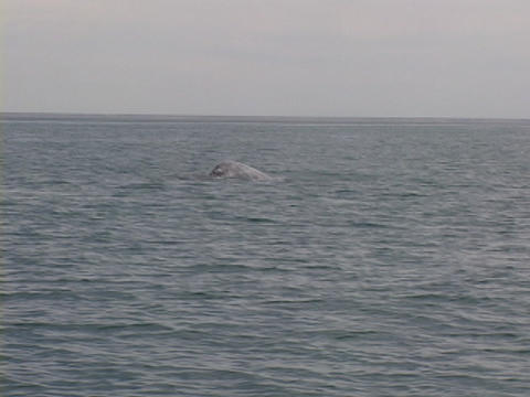 A whale tail crests above the surface of an ocean Stock Video Footage