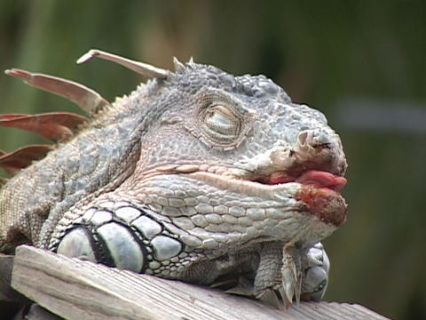 A resting, spiked iguana hangs its' tongue out of a... Stock Video Footage