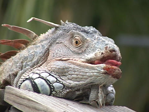 A resting, spiked iguana hangs its' tongue out of a bloody mouth and opens his eye Footage