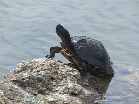 A turtle stands on rock and suns itself while looking around Stock Video Footage