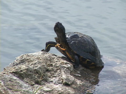 A turtle stands on rock and suns itself while looking around Footage