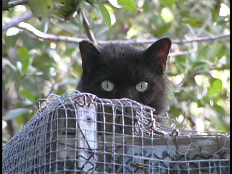 A black cat with green eyes peeks over a wood and wire cage Footage