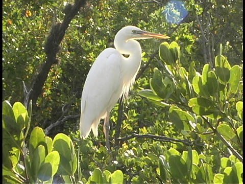A white egret perches in the top of trees in the Florida Everglades Footage