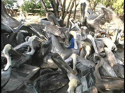 A crowd of pelicans flock together to eat from buckets Stock Video Footage