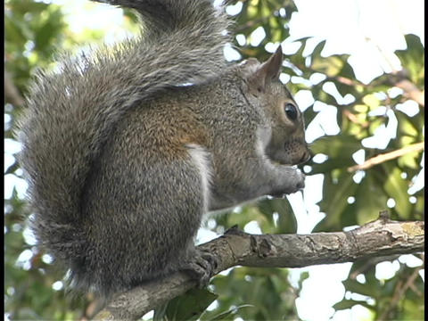 A fluffy tailed squirrel sits on a tree branch and eats Live Action