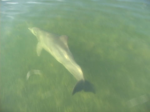 A dolphin swims and plays in front of boat, underwater Stock Video Footage