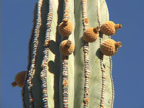 A prickly pear cactus stands in a desert in blue skies Stock Video Footage