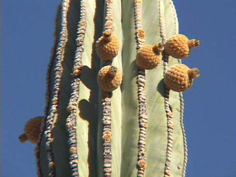 A prickly pear cactus stands in a desert in blue skies Footage