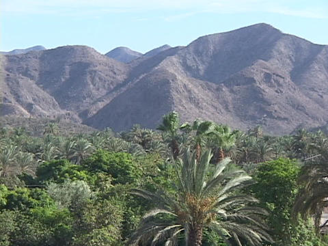 A palm oasis rests before an arid mountain range Footage