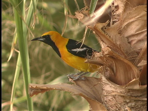A bright, yellow, black and white Oriole perches on the... Stock Video Footage