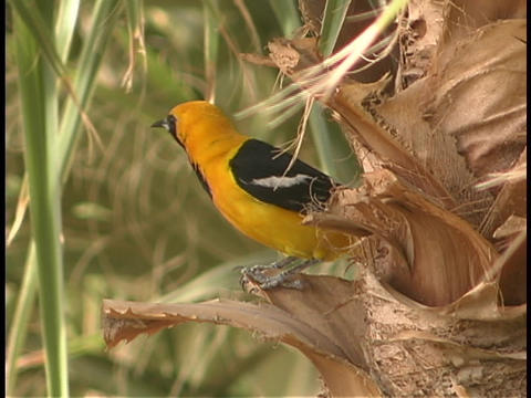 A bright, yellow, black and white Oriole perches on the bark of a palm tree Footage