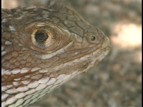A lizard looks up Stock Video Footage