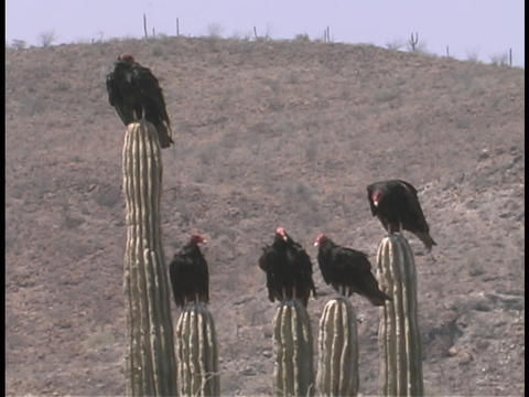 Five turkey vultures rest atop tall cacti in the desert Footage