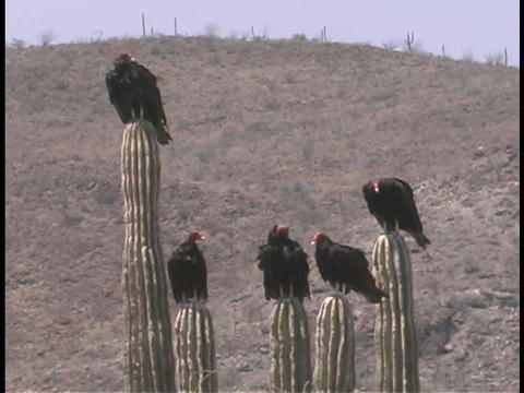 Five turkey vultures rest atop tall cacti in the desert Stock Video Footage