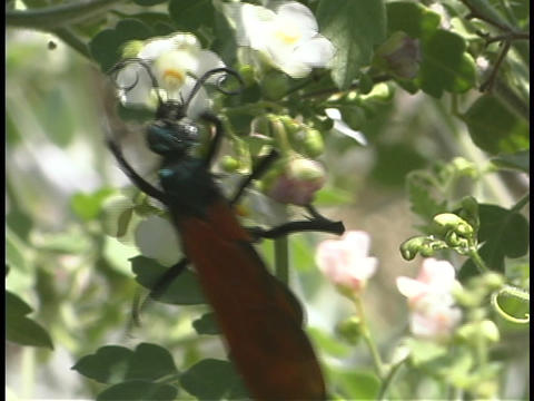 A large black wasp feeds on white flowers Stock Video Footage