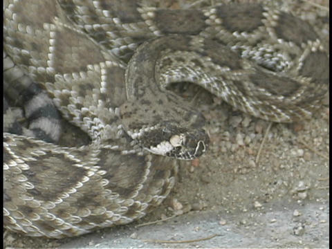 A coiled rattle snake flicks its' tongue rapidly Stock Video Footage