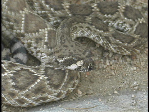 A coiled rattle snake flicks its' tongue rapidly Live Action