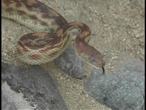 A red non venomous snake is coiled for strike Stock Video Footage