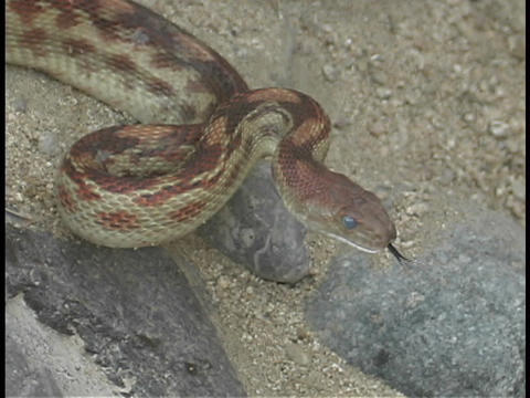 A red non venomous snake is coiled for strike Footage